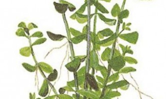 Bacopa monier