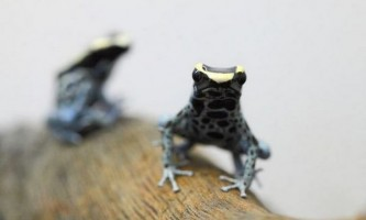 Poison frogs of south america: dart frogs i phyllomedusa